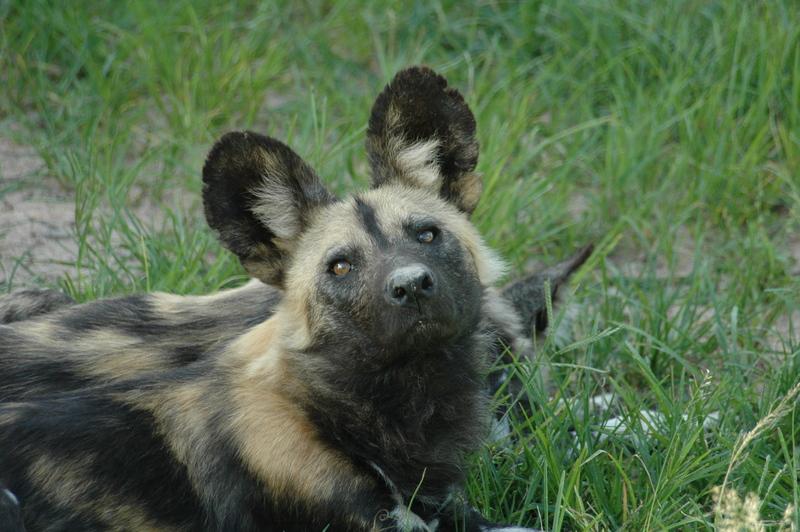 1-wilddog