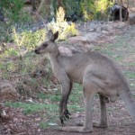 kangaroos-walking-by